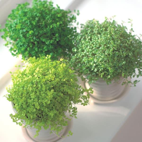 babys tears - Hard to kill house plants