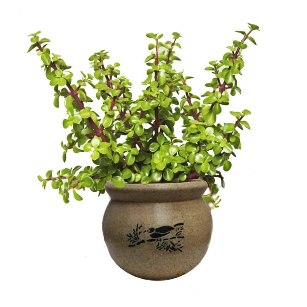 jade-plant - Hard to kill house plants