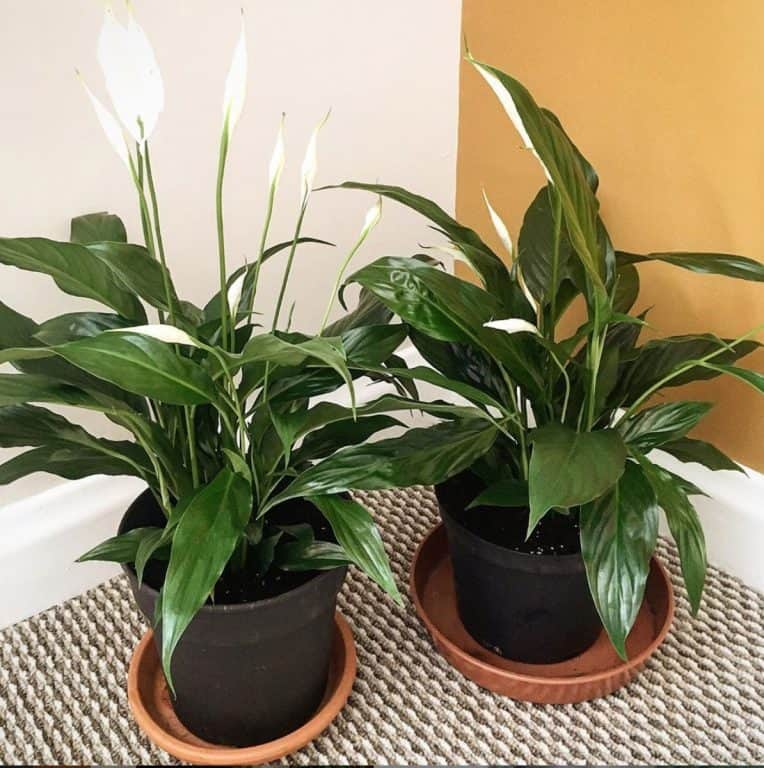 Peace Lily | Ultimate Grow & Care Guide