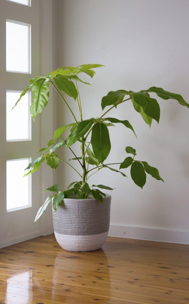 Big leaf indoor plants