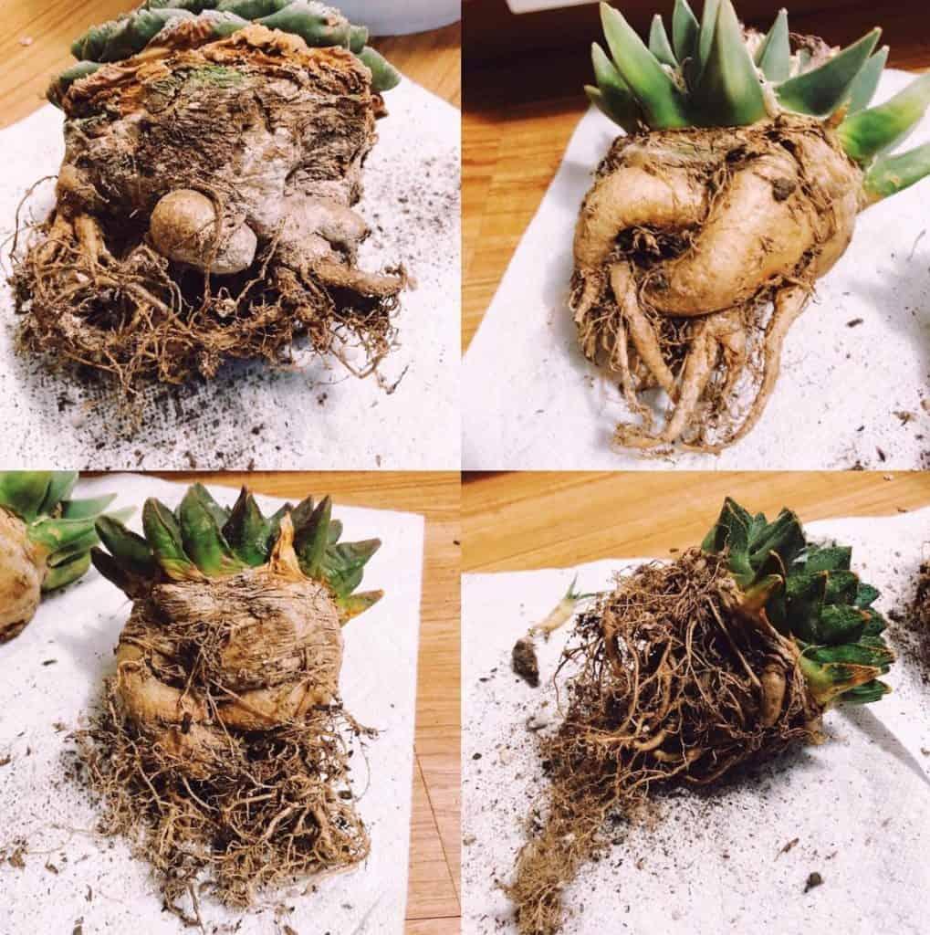 Cactus Roots System Grow Deep
