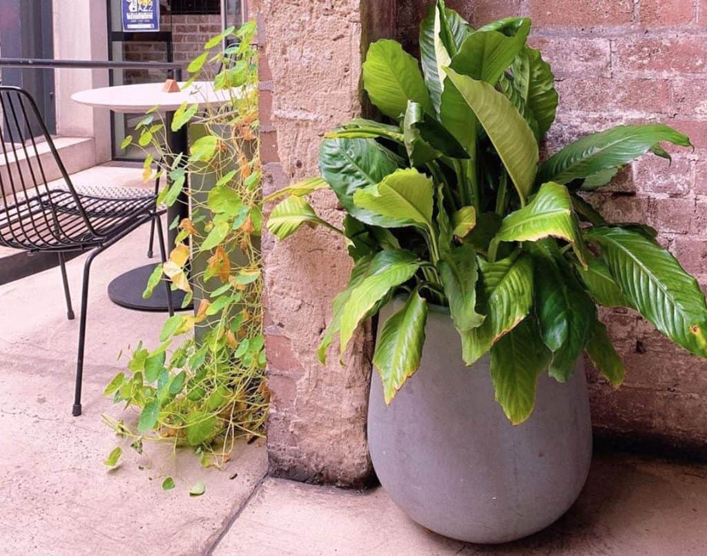 Peace lily brown tips
