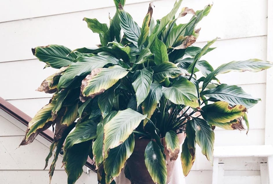 Repotting a Peace Lily