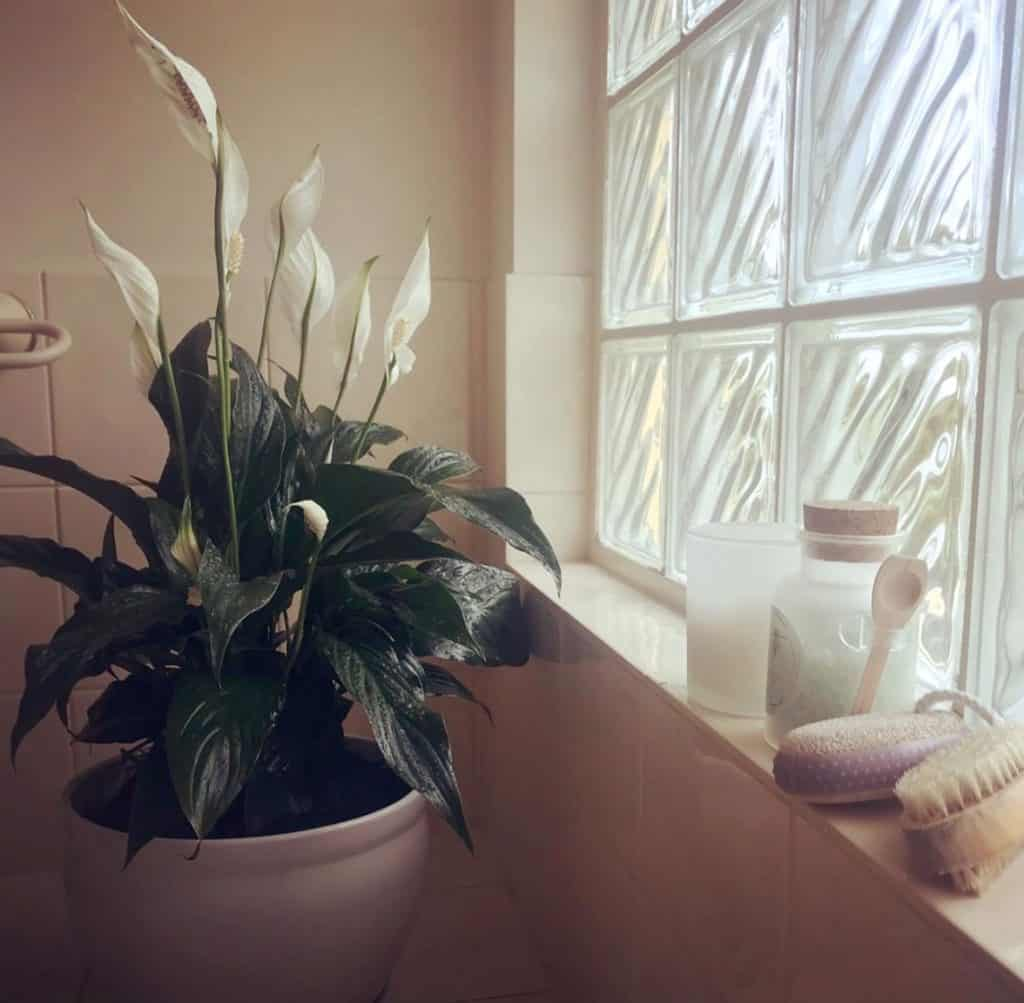 How often to water Peace Lily