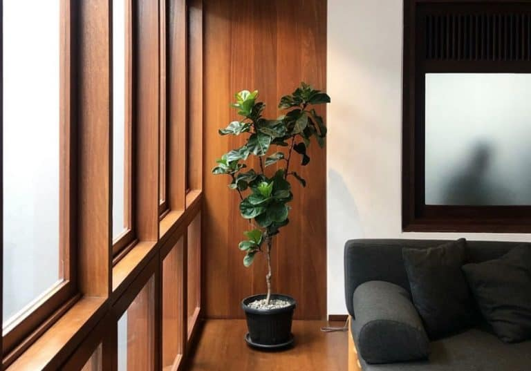 Fiddle Leaf Fig | Ultimate Grow & Care Guide