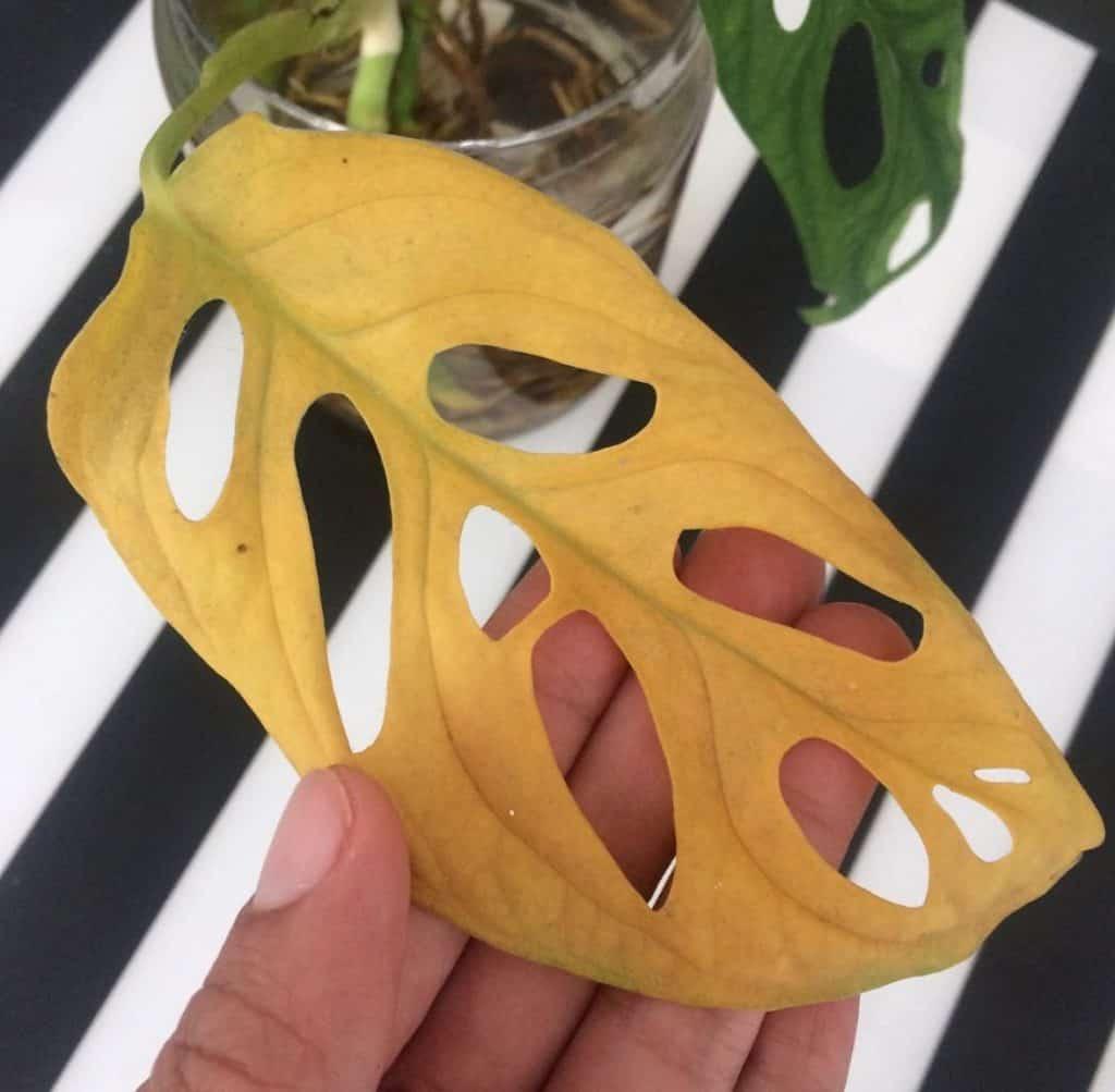 Monstera Yellow Leaves