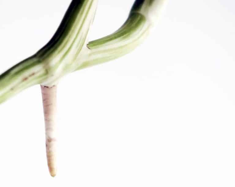 Monstera Aerial Roots | Whats the deal?