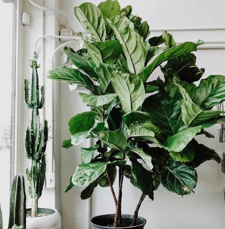 Can you cut a fiddle leaf fig back? | What's the deal