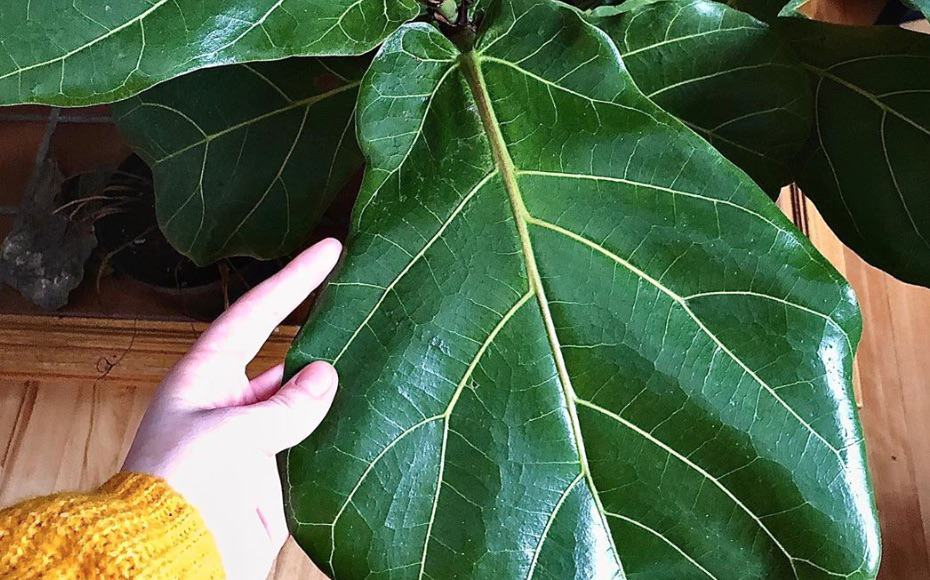 Small brown spots fiddle leaf fig