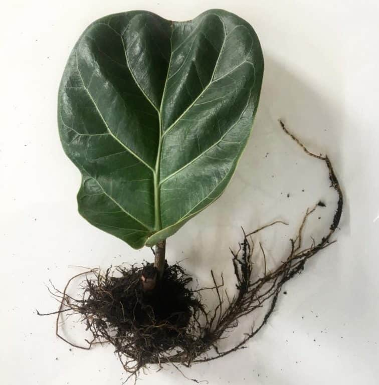 Fiddle Leaf Fig Propagation | How to Guide