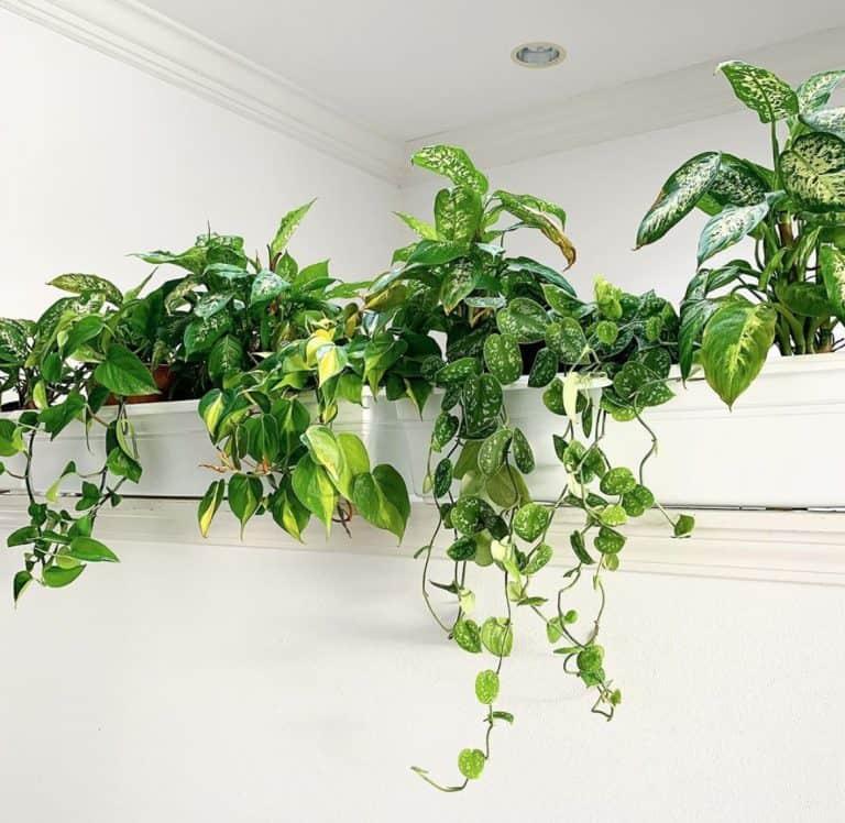Best Hanging Plants Indoor | Simple Guide