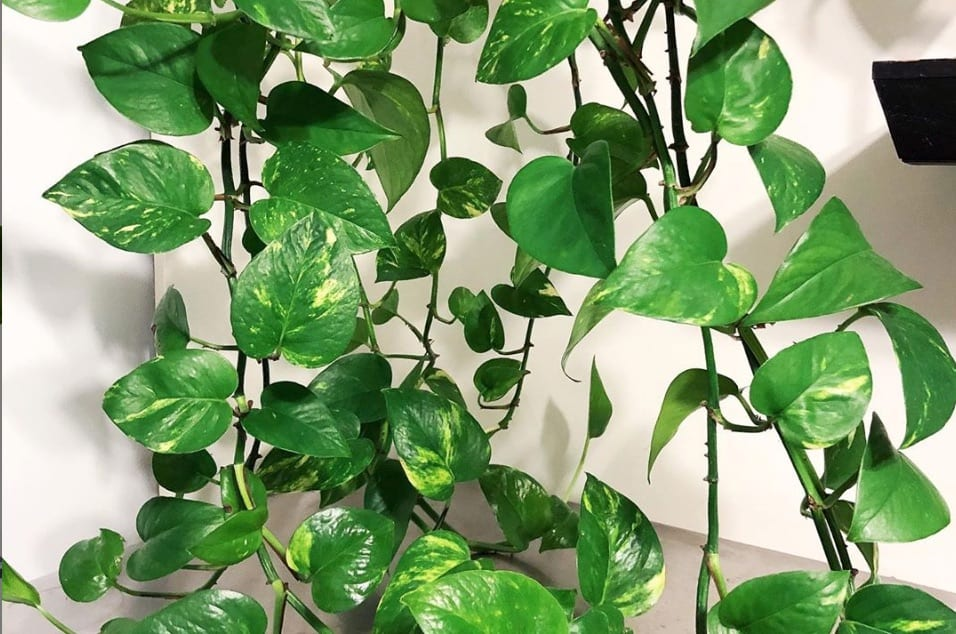 how to get pothos to branch