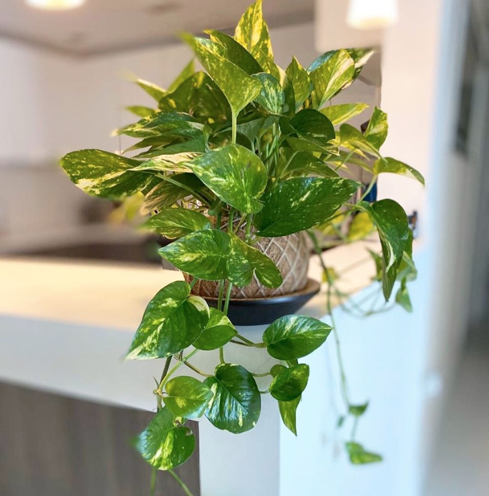 Should I mist pothos