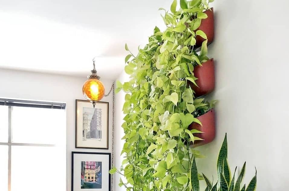 How fast to pothos grow