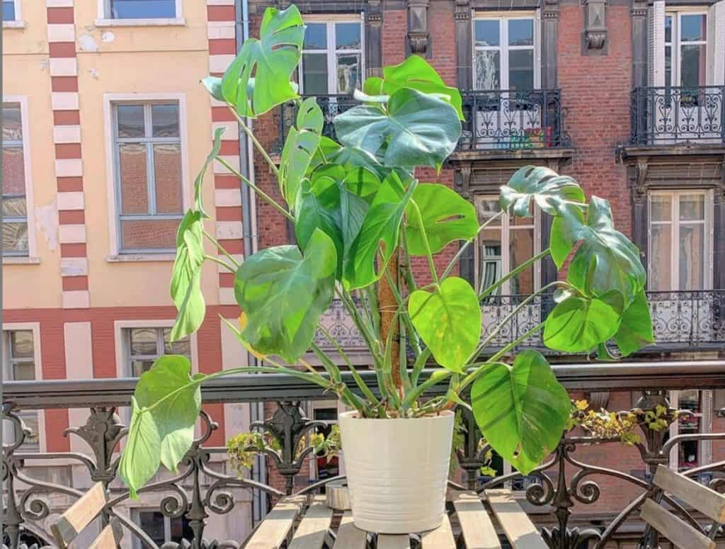 How much light does a monstera need