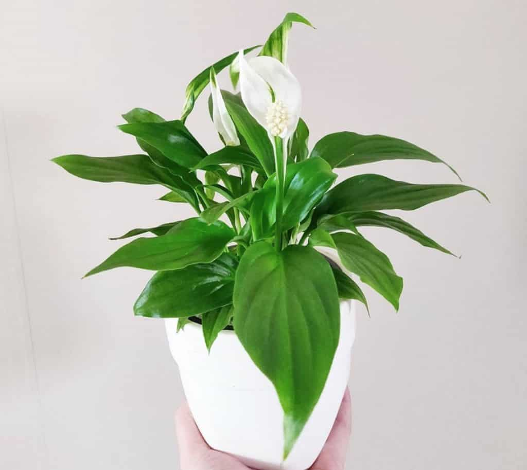 Can I put my peace lily outside