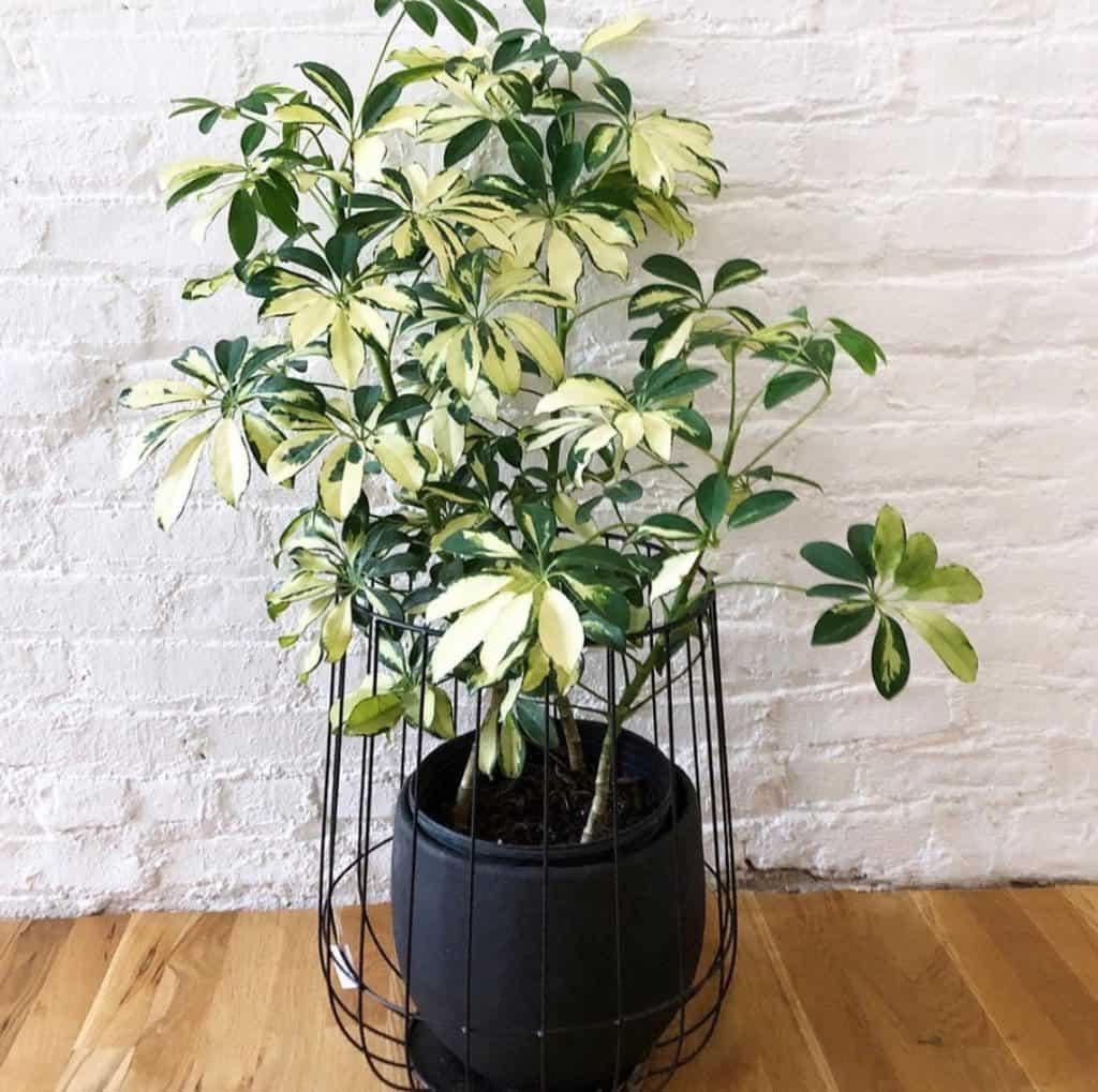 How do I make my umbrella plant bushy