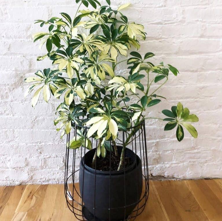 How do I make my umbrella plant bushy?