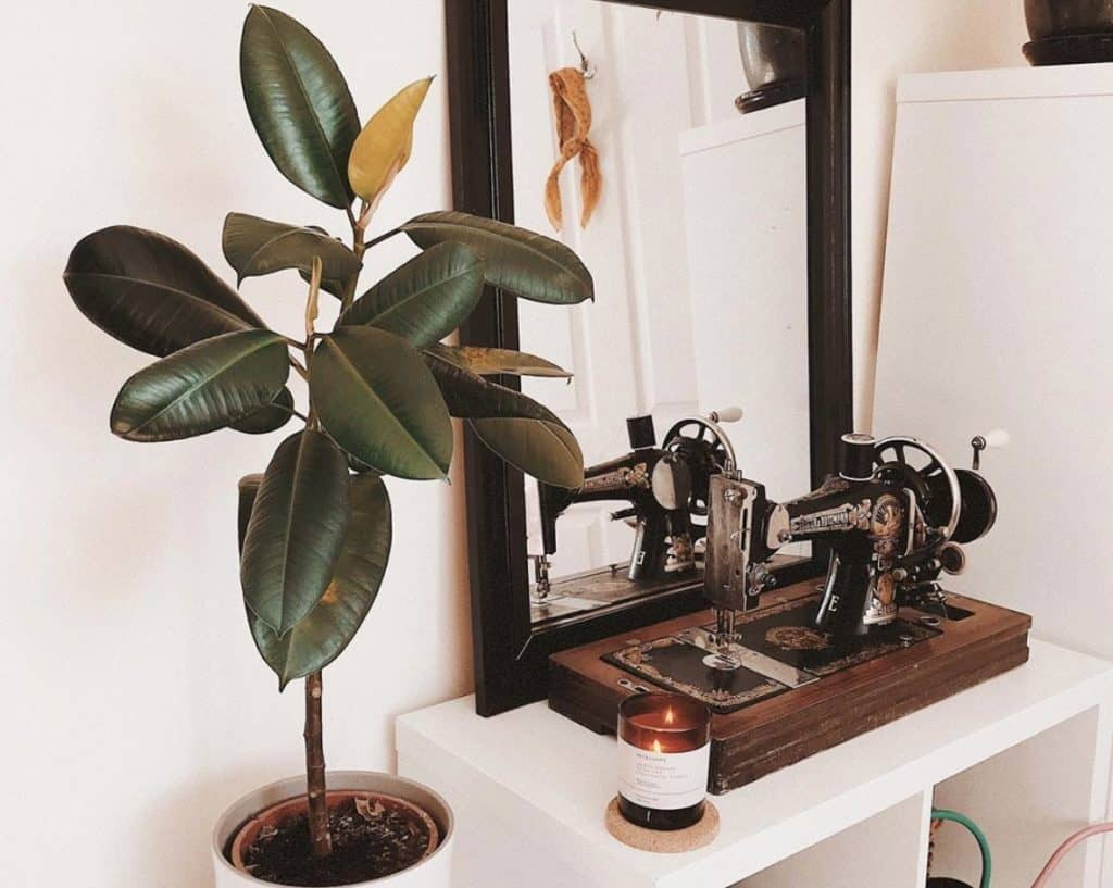 How fast do rubber plants grow