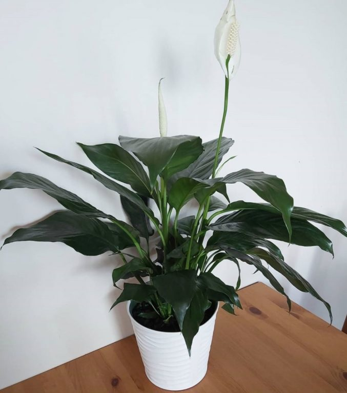 Is peace lily an indoor plant?