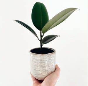 Rubber-Plant-Care-Guide