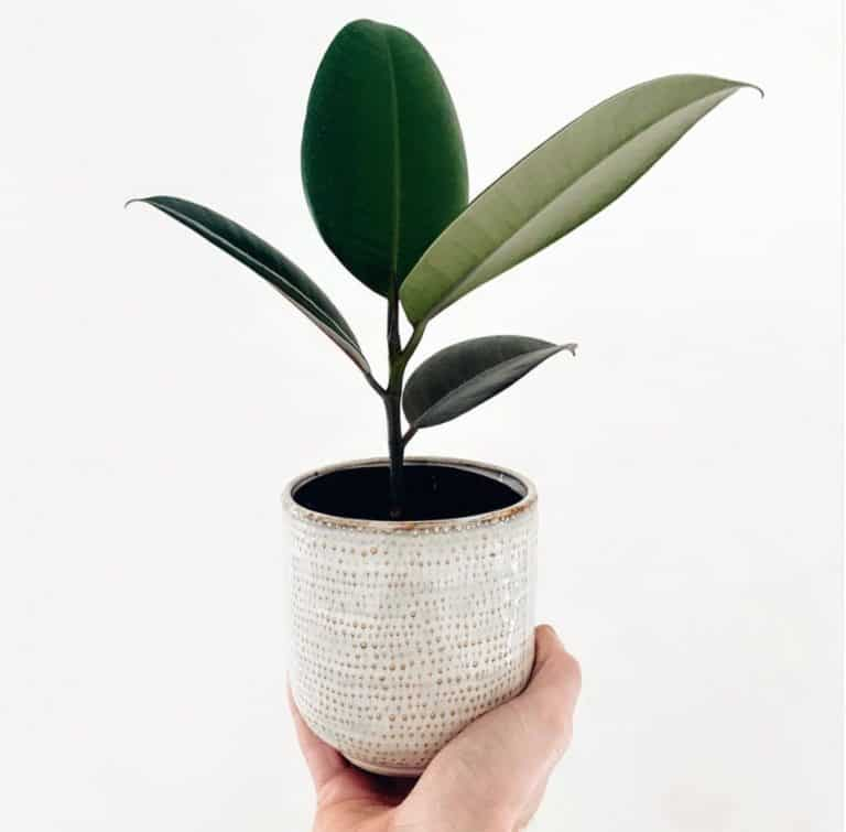 Rubber Plant | Ultimate Grow & Care Guide
