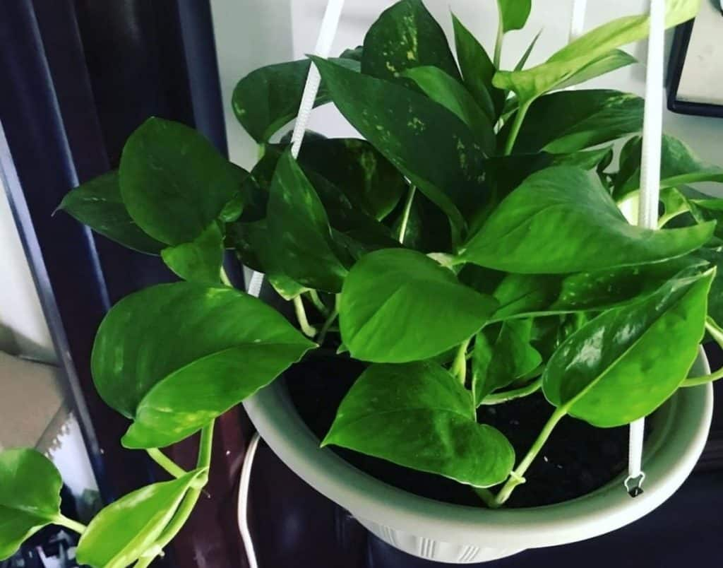 What is the difference between pothos and philodendrons?