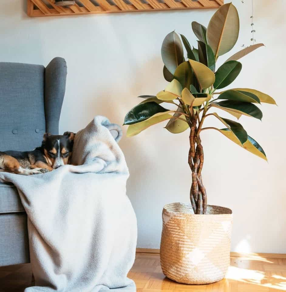 Where should I place my rubber plant?