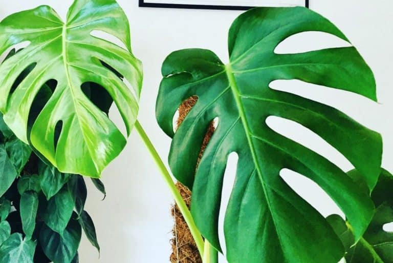 Why is my monstera drooping?
