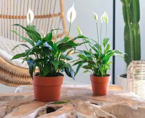 Are peace lilies poisonous to humans?