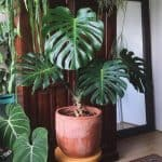 Can Monstera grow indoors?