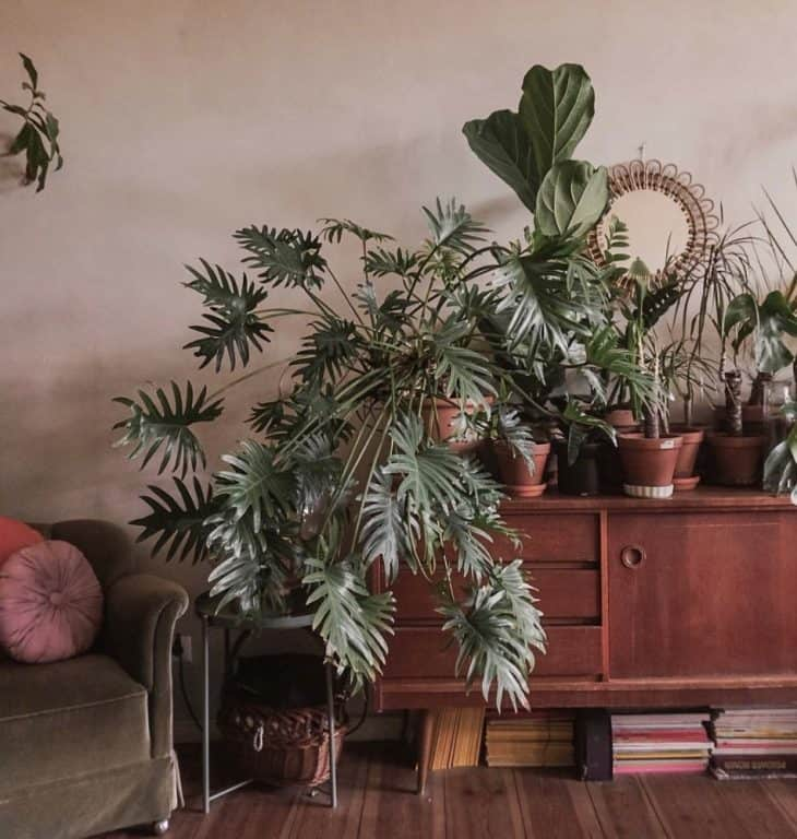 Can Philodendron grow in low light?