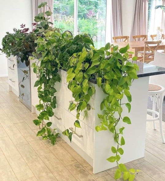 Do pothos plants clean the air