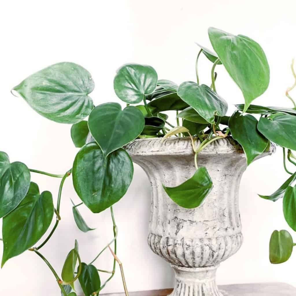 How often should you water a philodendron?