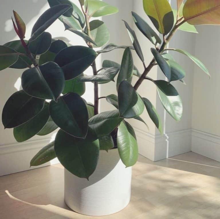Is the rubber plant poisonous?