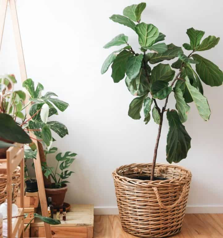 Why do fiddle leaf fig leaves fall off?