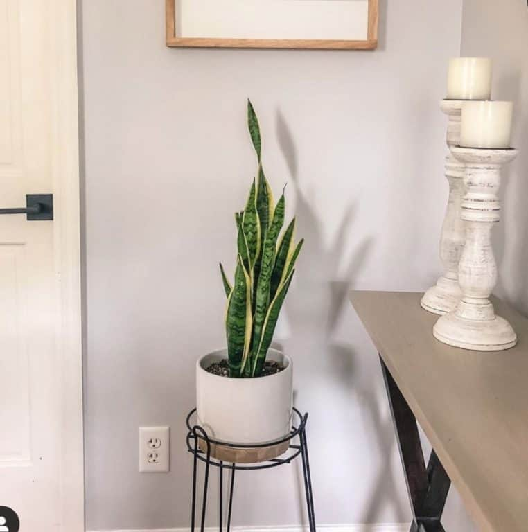 Do all snake plants clean the air?