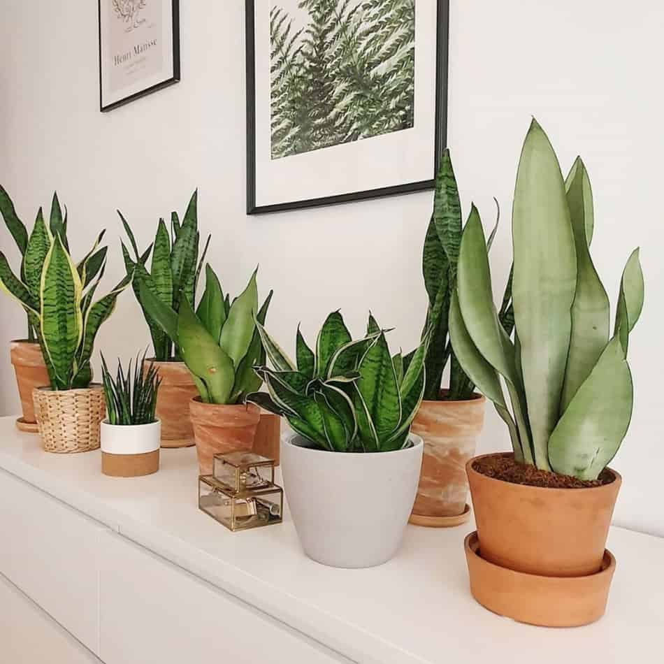 How much light do snake plants need