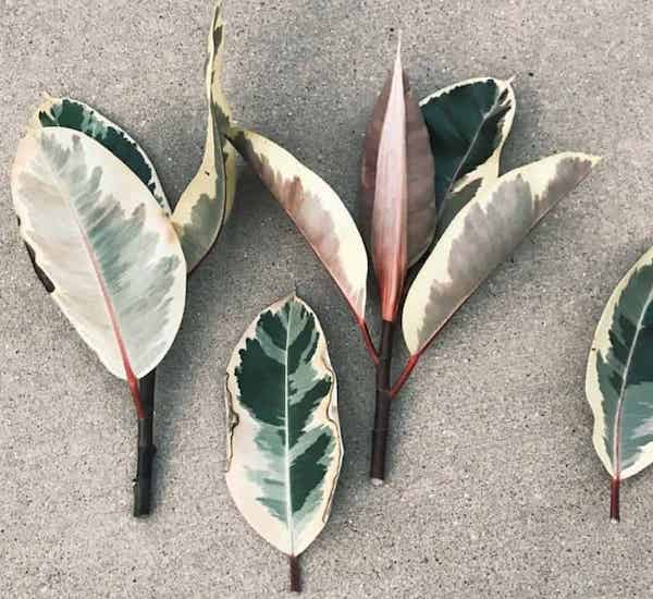 Can you propagate rubber plant in water?
