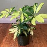 Is an umbrella plant an indoor plant