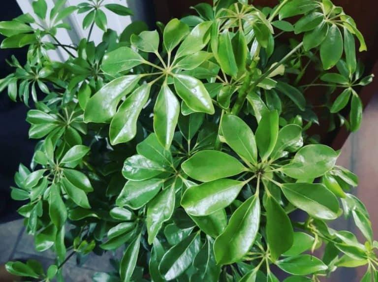 How do you prune umbrella plants?
