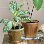 Does Chinese evergreen grow fast?