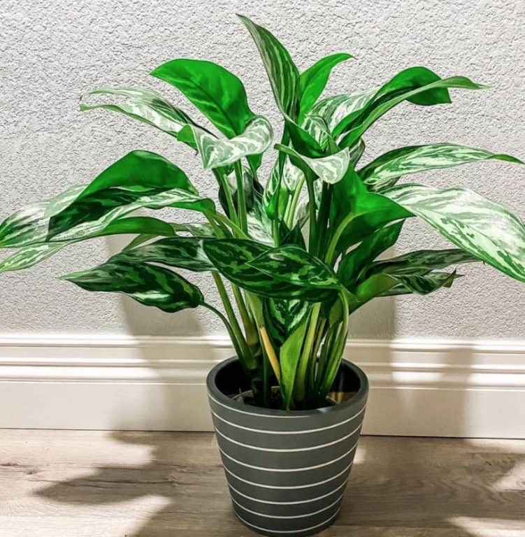 How much light does a Chinese evergreen need?