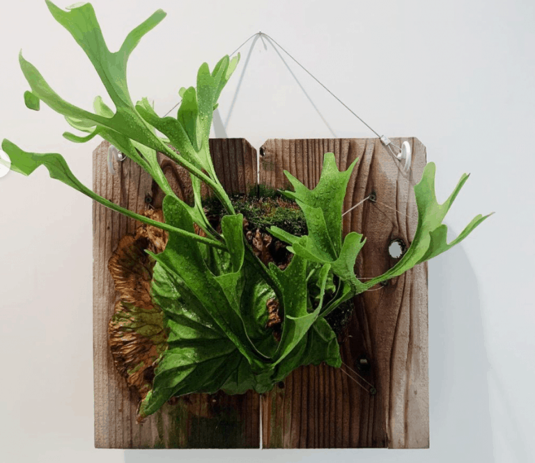 Staghorn Fern Care and Growing Guide | The root plant out of its natural habitat.