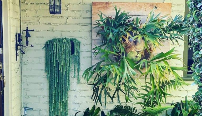 Top 10 Staghorn Fern Varieties | All you need to know